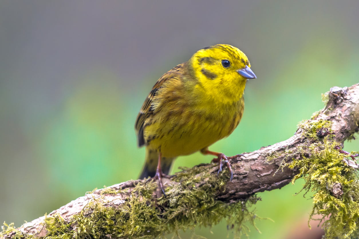 Yellowhammer on mossy branch