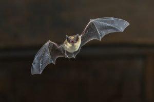 Bats and Buildings: 2018 Bat Survey Drawing to a Close
