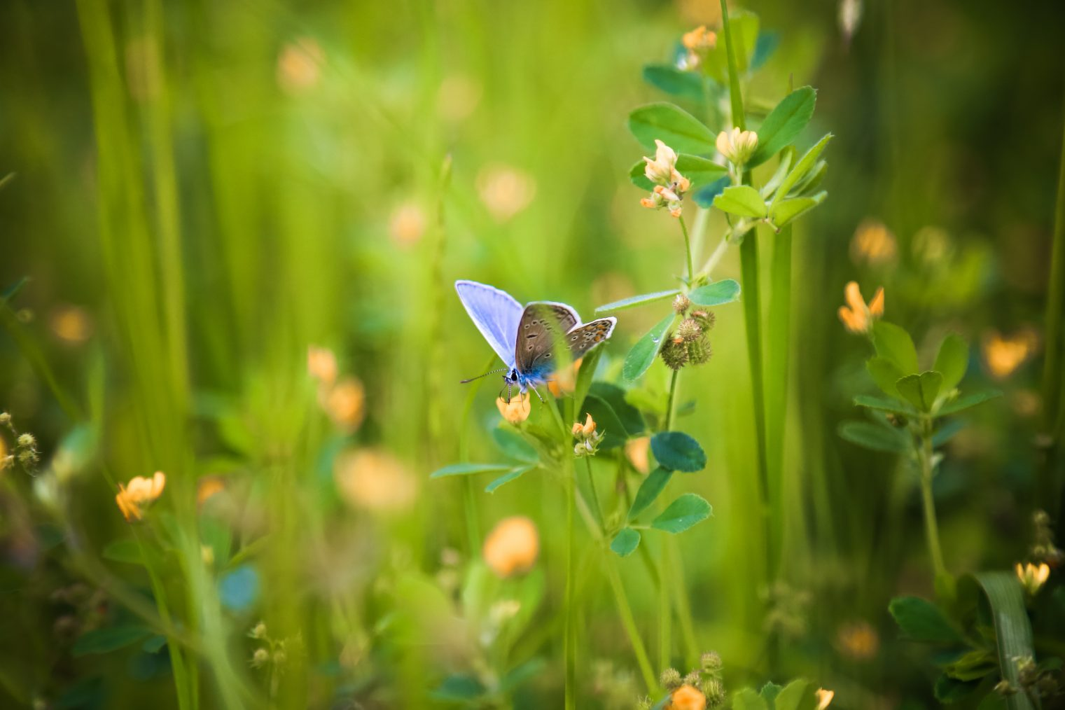 Common Blue Butterfly (Polyommatus icarus) nectaring on wildflower