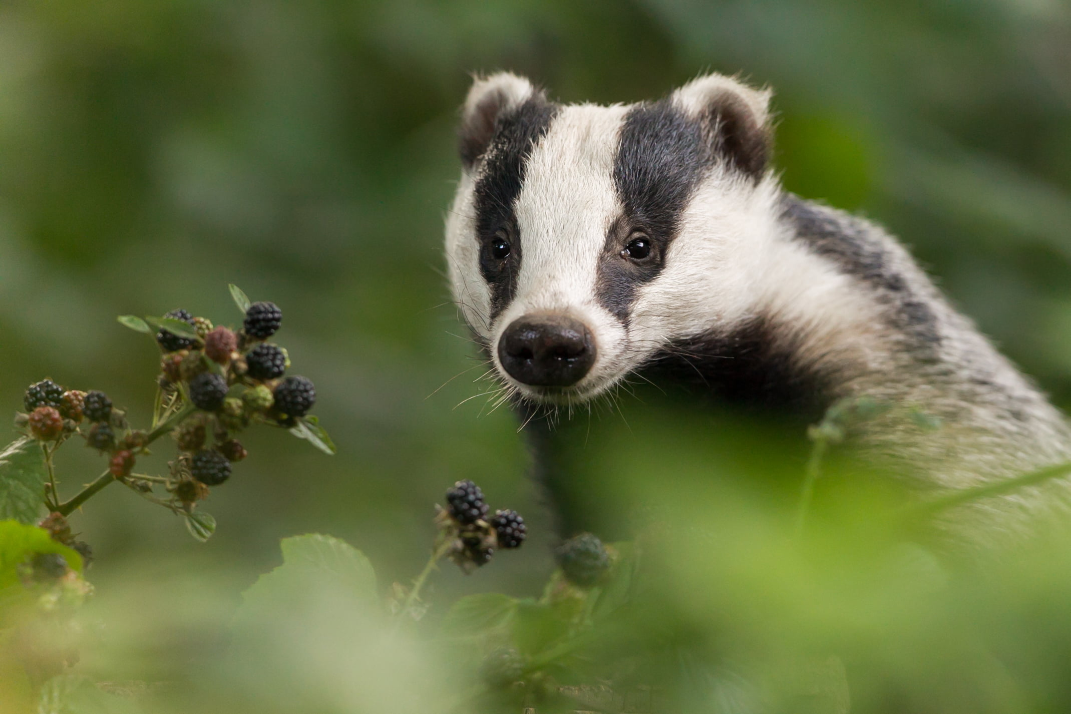 A European badger in the forest