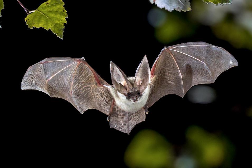 International Bat Night 2020