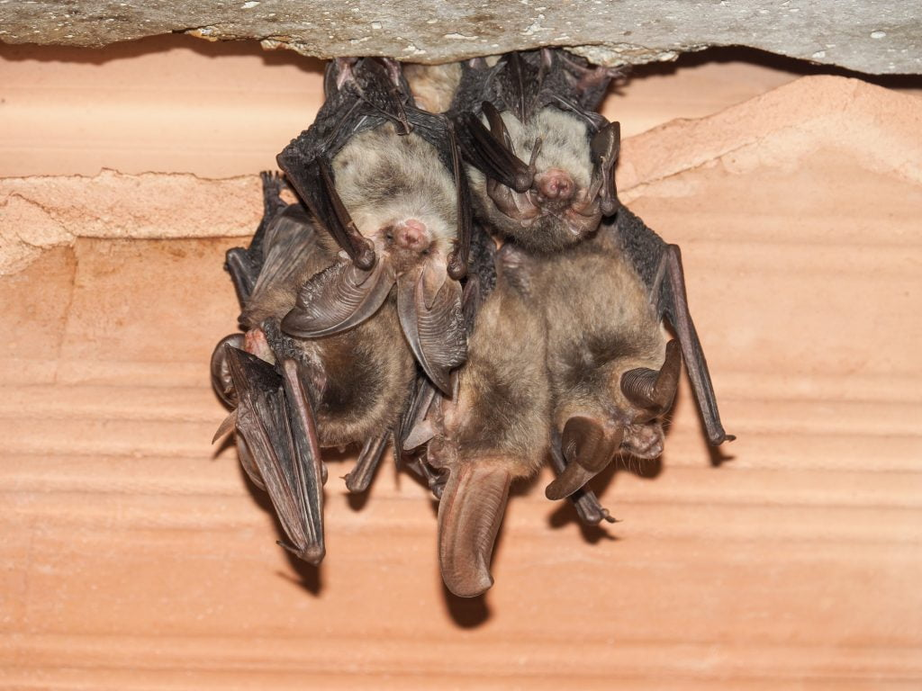 ECOLOGISTS WARN THAT DEVELOPERS HAVE JUST WEEKS REMAINING TO ASSESS AND ACT ON BAT ROOSTS TO AVOID DELAYS TO CONSTRUCTION
