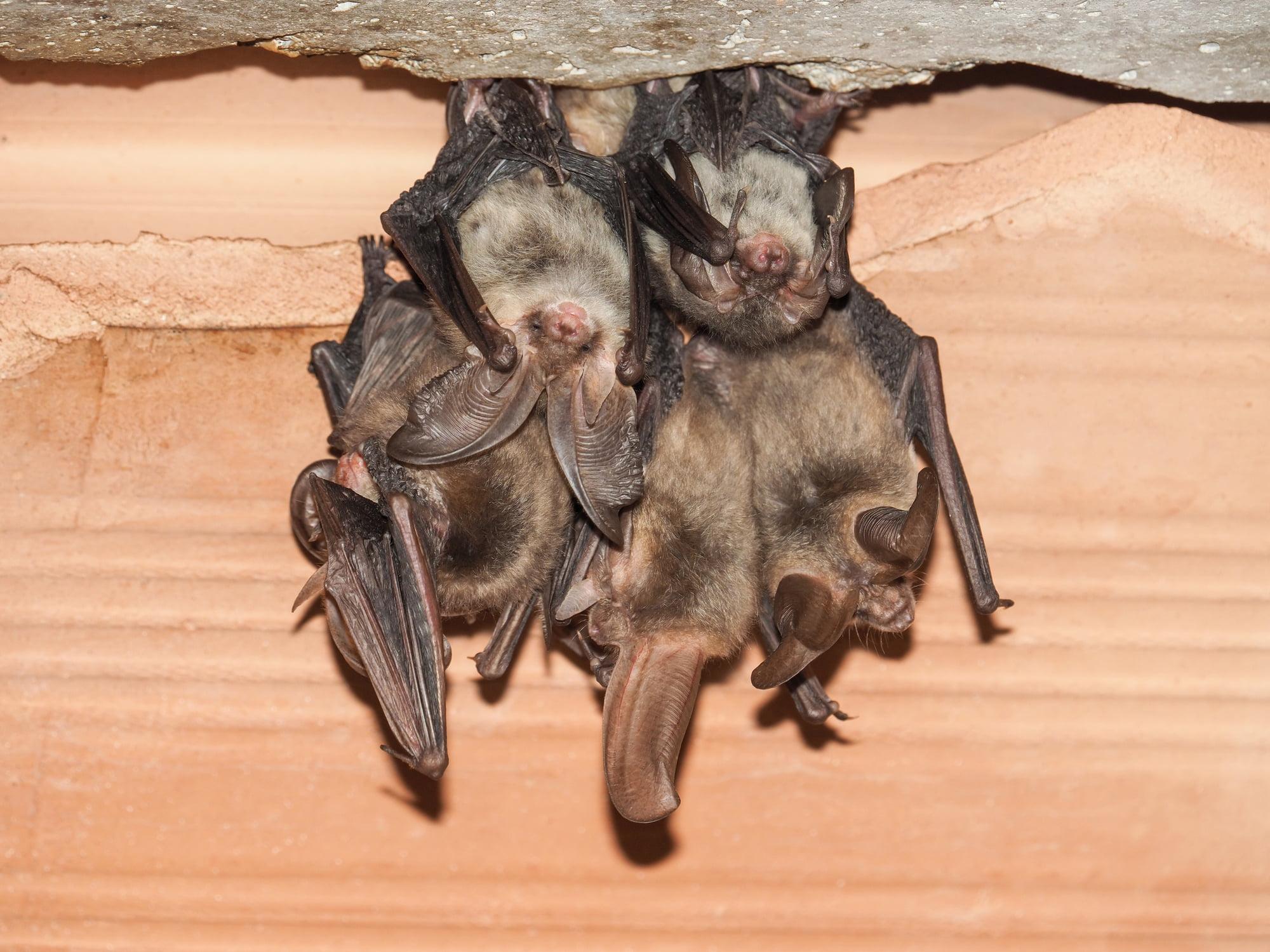 Group of Brown long-eared bat (Plecotus auritus)