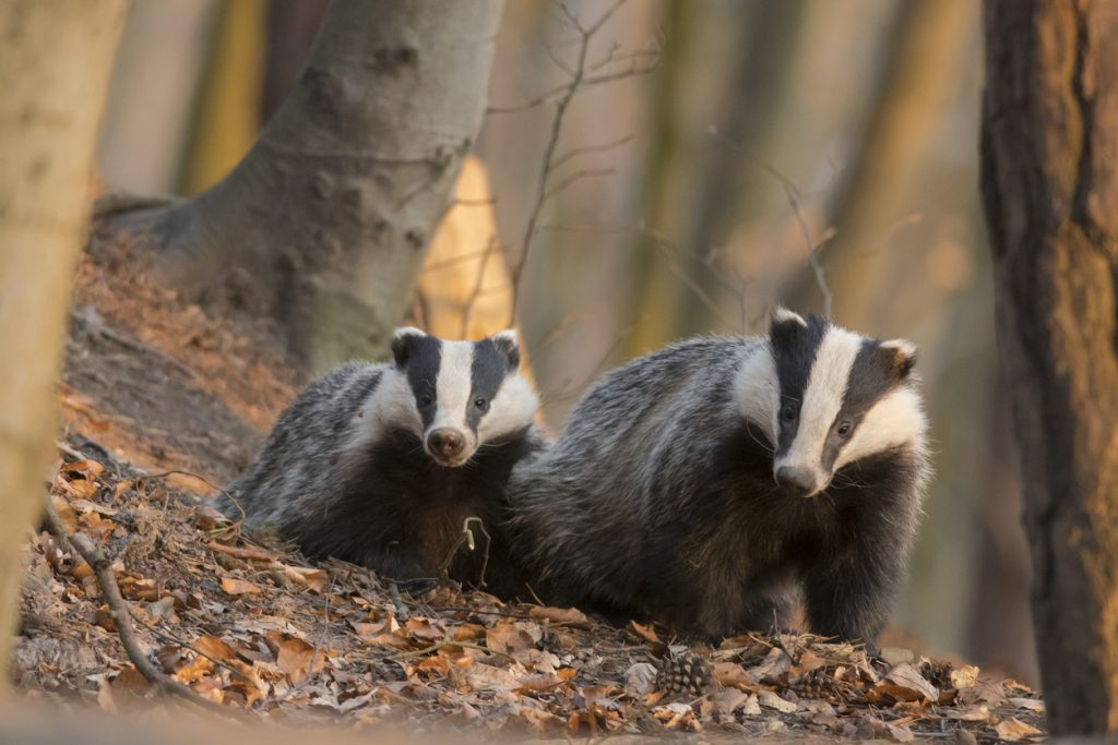 In Celebration of Badgers.  2 Badgers in the woods.