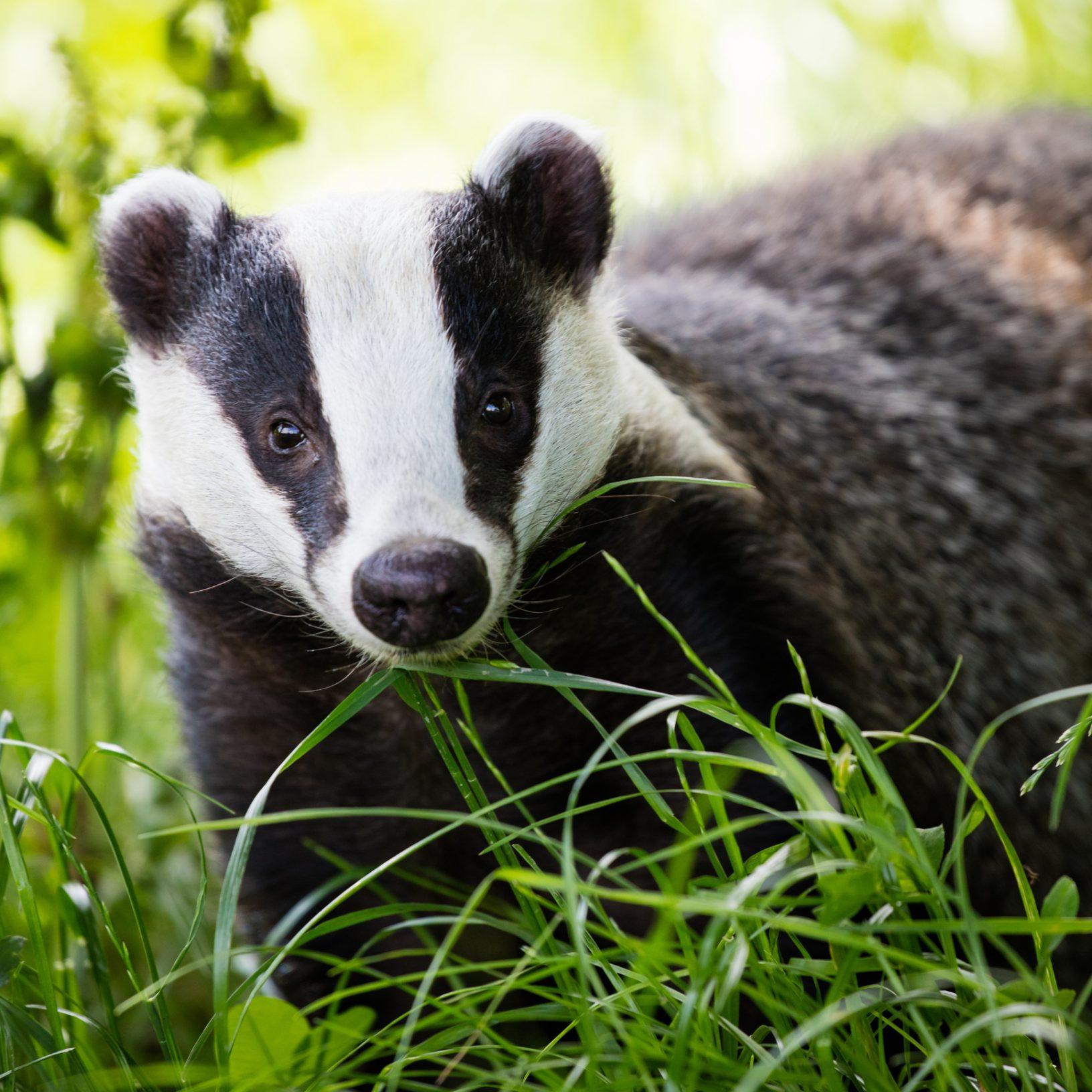 badger sett closure licence