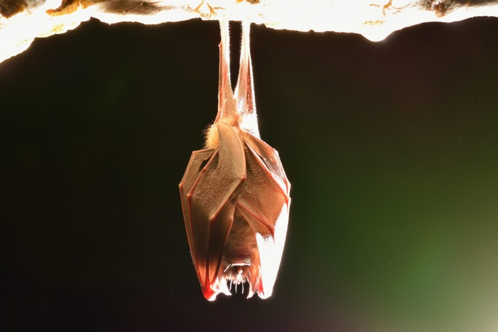 JUST WEEKS REMAIN TO ASSESS AND ACT ON BAT ROOSTS TO AVOID CONSTRUCTION DELAYS, WARN ECOLOGISTS